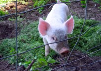 photo of pig