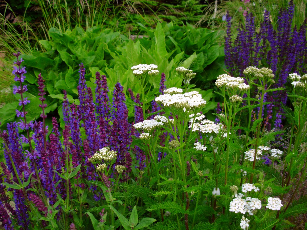 I planted the blue/purple salvia, but the white yarrow is a native that volunteered, and the combination was gorgeous.