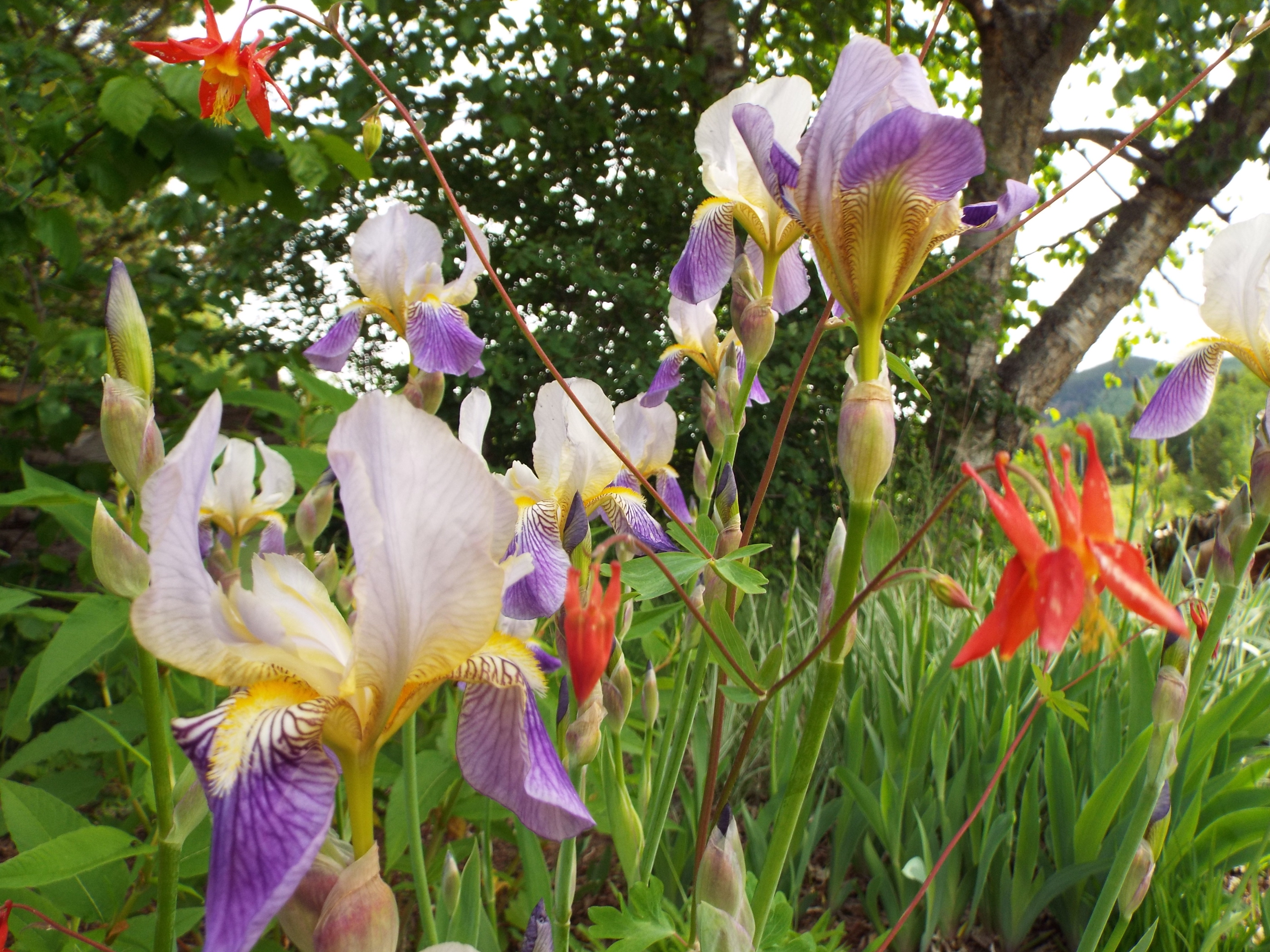 Native columbine volunteering to bloom with planted iris.