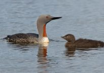 photo of red throated diver with young