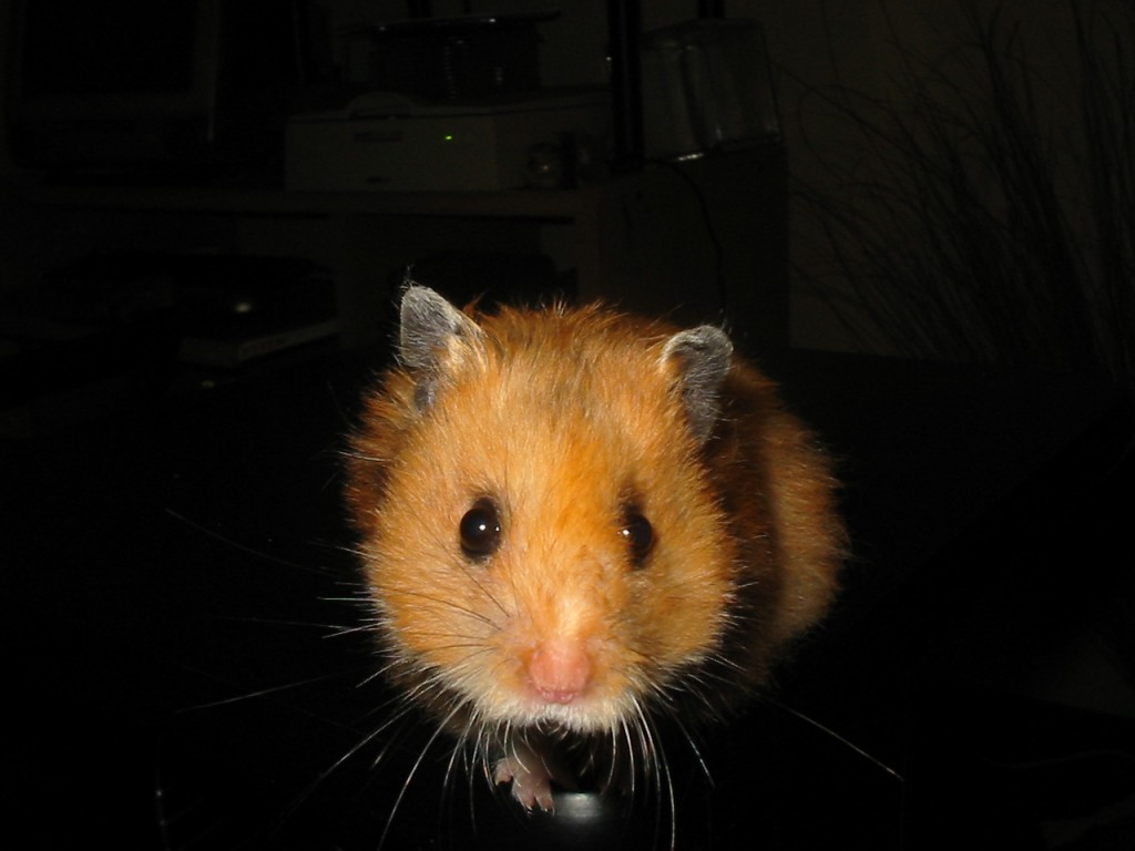 photo of hamster