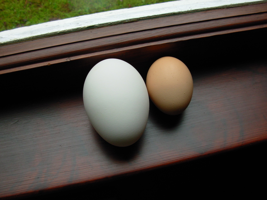 Goose egg next to chicken egg for comparison.