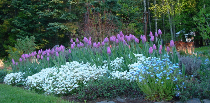 Purple flag tulips with white arabis in antiquities bed, May 2014