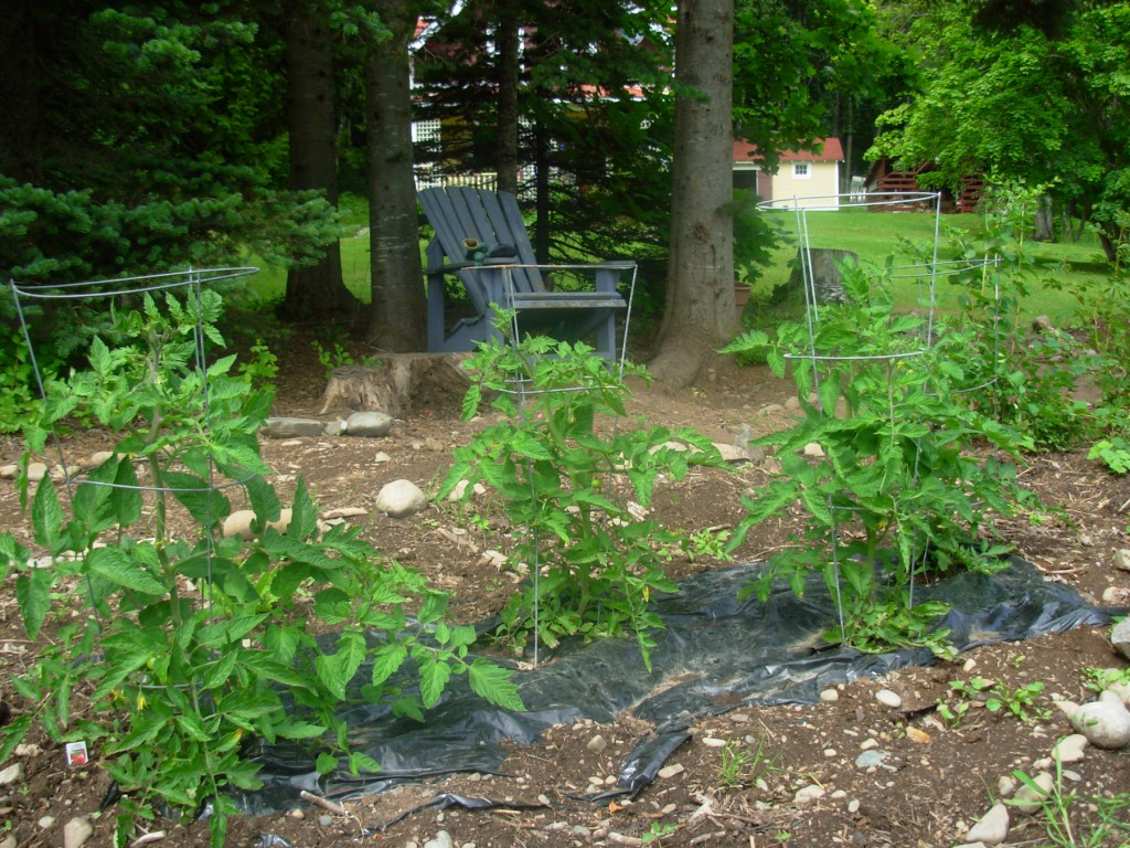 Tomatoes using vacant real estate in the Oudolf-in-progress, July 2011.