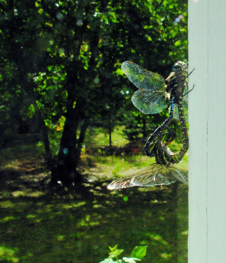 dragonfly_love